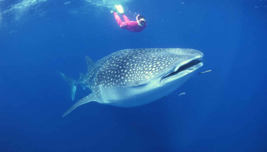 Whale sharks are docile enough for people to swim near them.