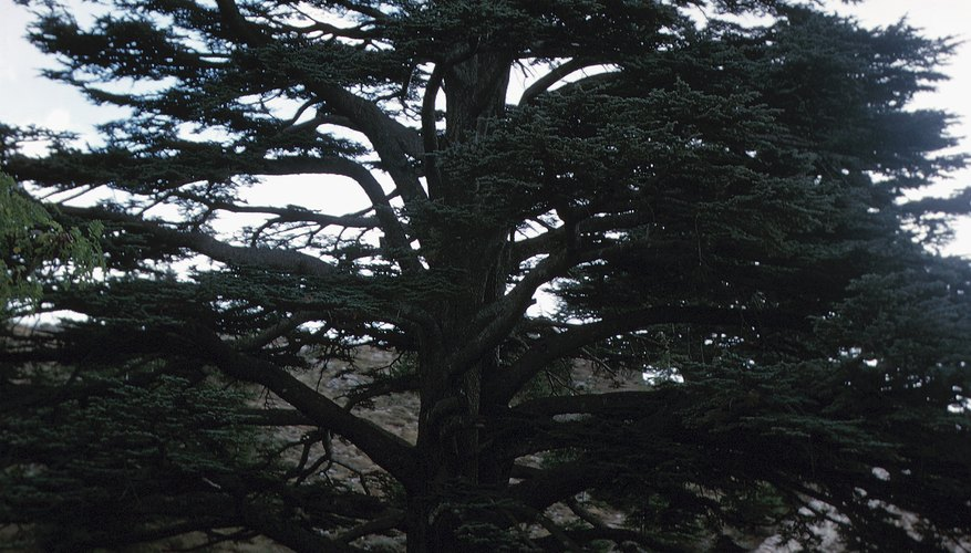 True cedars of the Old World are not closely related to North American white-cedars.