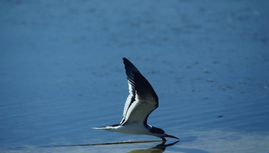 Tern diving into water