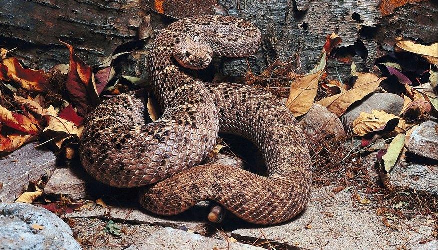 rattlesnake outside of den