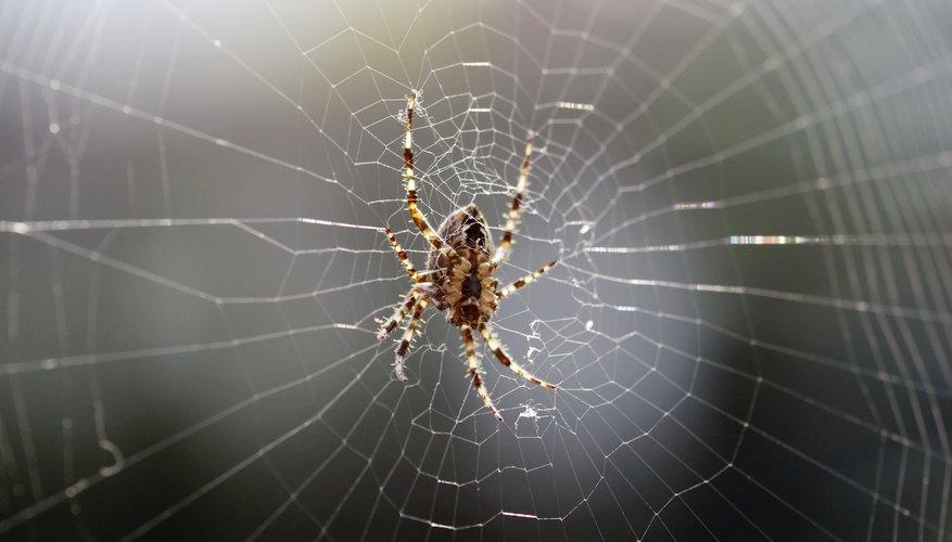 Orbweaver spider.