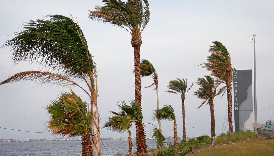 Wind from Hurricane Ike whips past palm trees September 12, 2008 in Galveston, Texas.