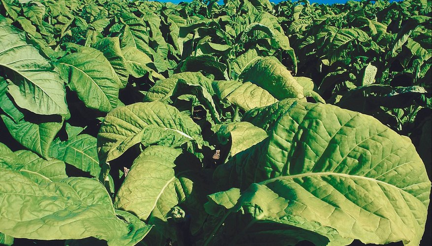 Tobacco is the chief ingredient in Swisher Sweets.