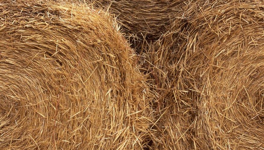 Un tractor de cubeta es necesario para las pacas redondas que alimentan a las vacas productoras de carne.