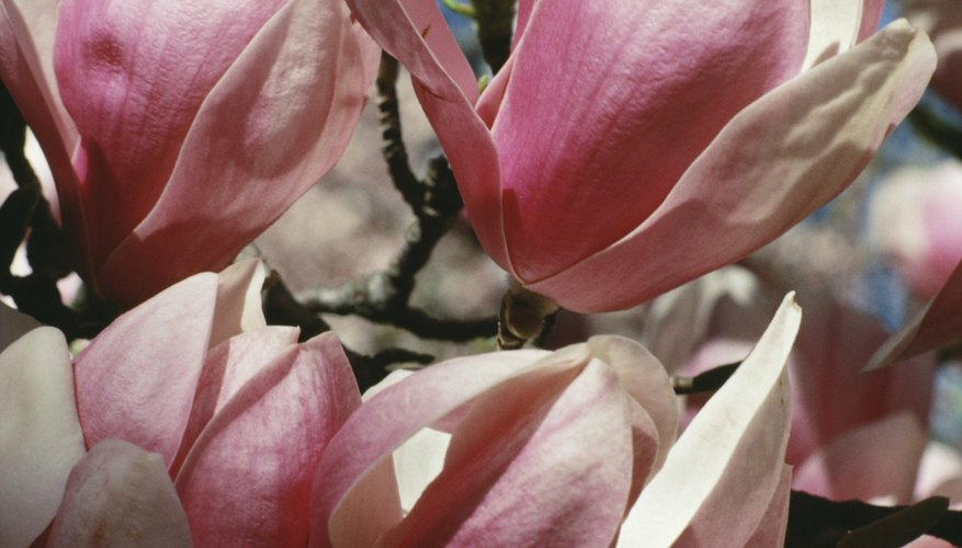 Cold hardy magnolias come in shades of pink as well as white.