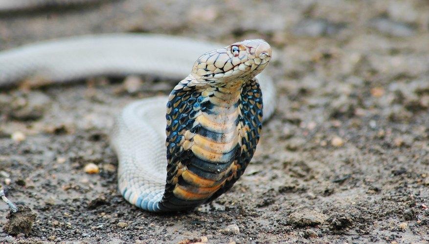 large cobra snake