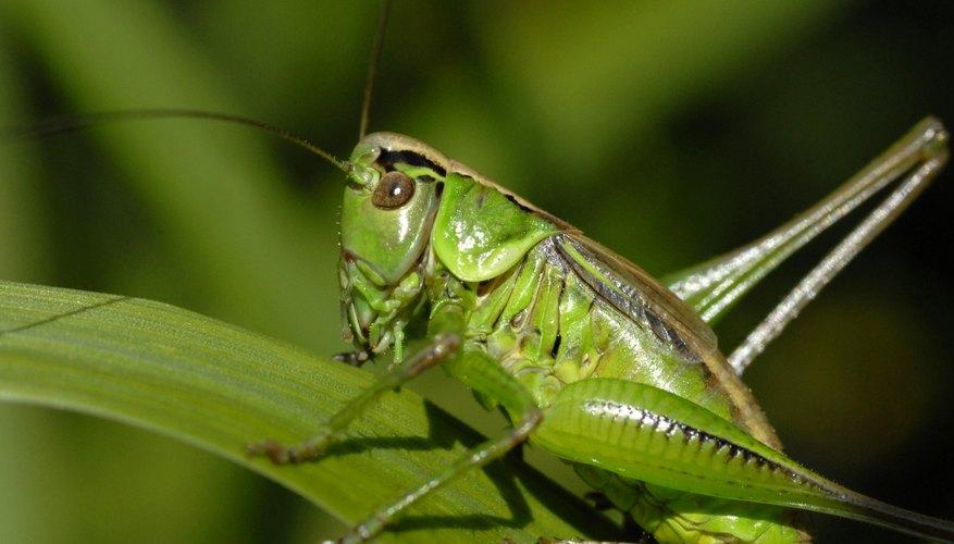 Grasshoper.