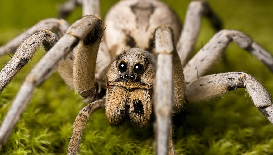A close-up of a wolf spider on moss.