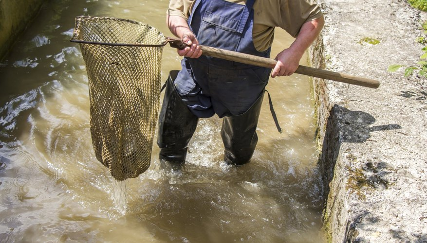 Man walking through raceway with net to harvest trout