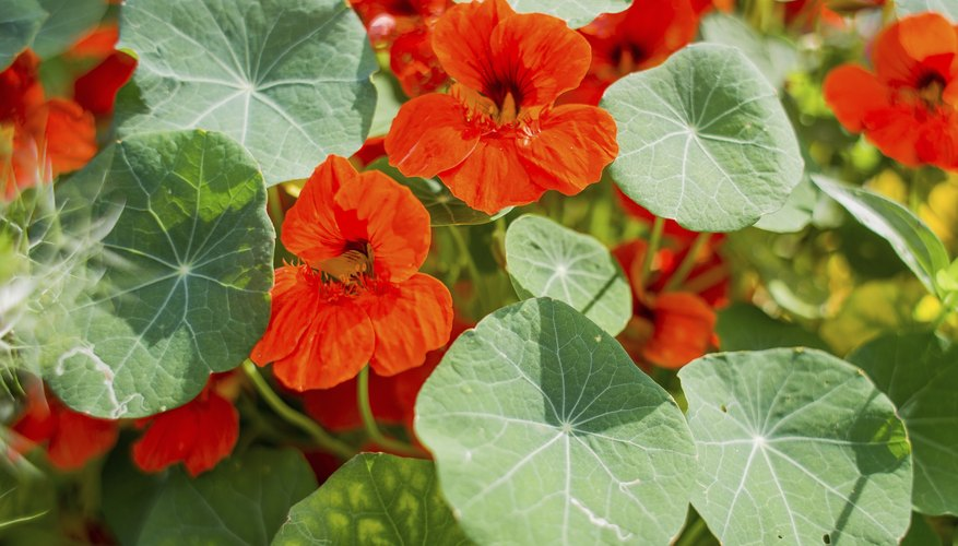 Close-up of nasturtiums