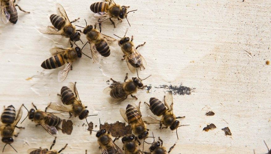 Partes del cuerpo de una abeja.