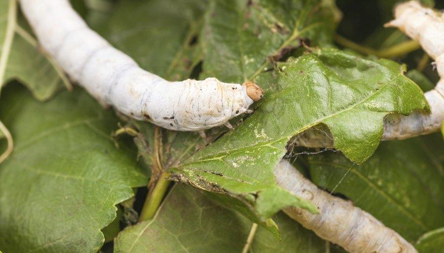 A silkworm on a leaf.