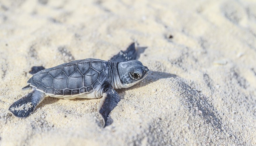 Baby turtle on sand