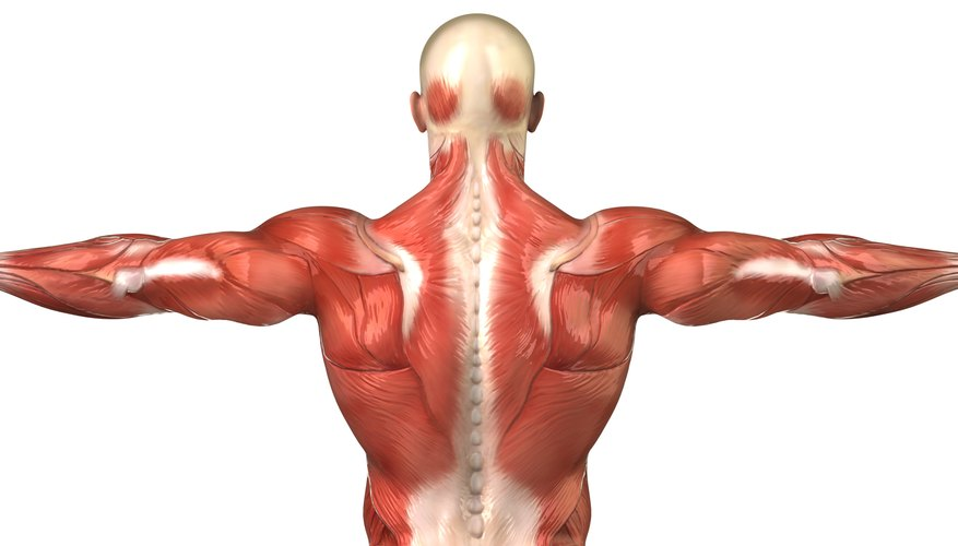 3D rendering of the human muscular system; rear view.