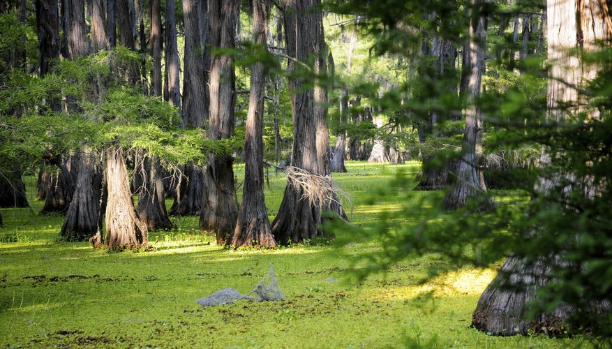 Swamps provide an environment for animals such as water birds, turtles and fish.