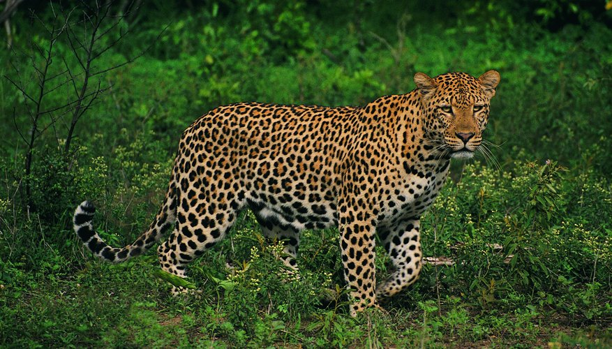 Does your leopard look like this?