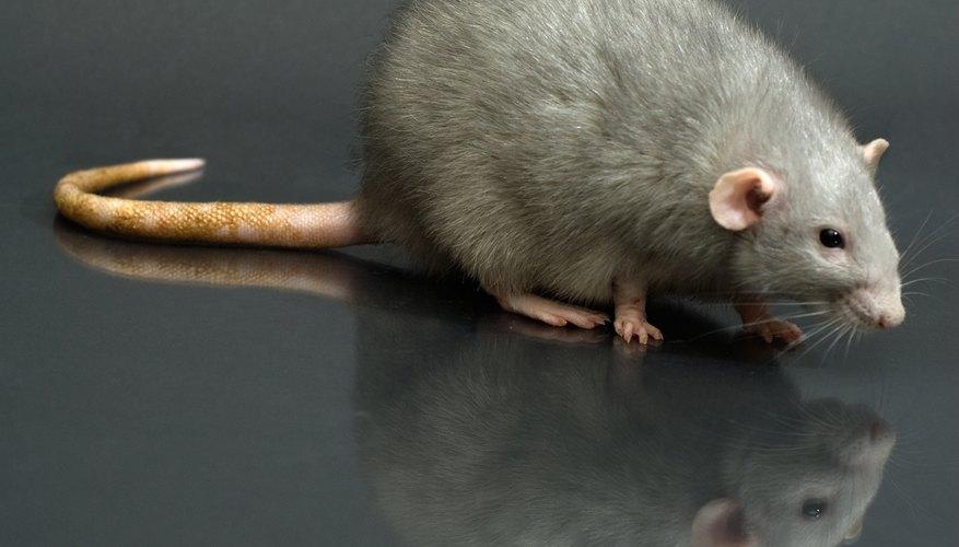 Busca señales de actividad de ratas en tu casa utilizando una linterna.