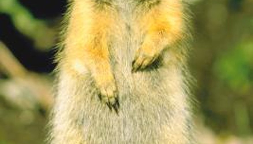 Squirrels can acquire either sarcoptic manage or notoedric mange.