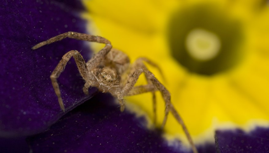 the bite of a sac spider can be very painful