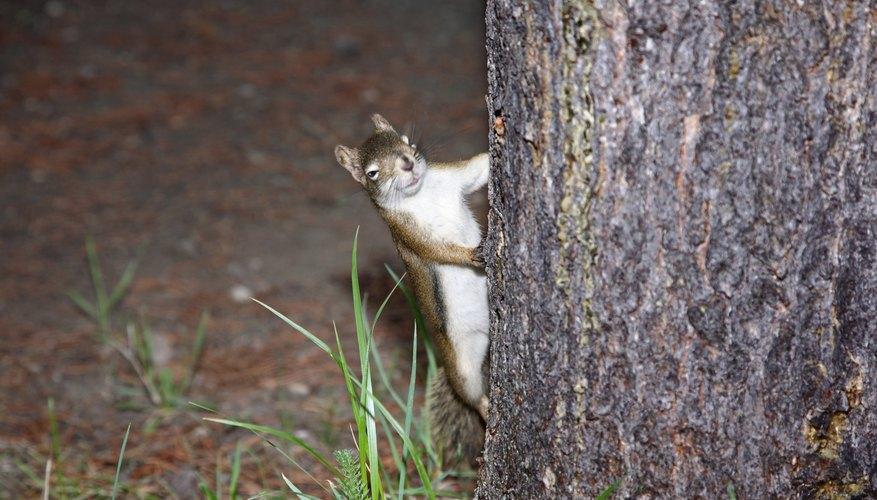 squirrel behind tree