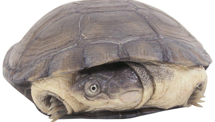 Las tortugas son sólo un tipo de los animales que hibernan en invierno.