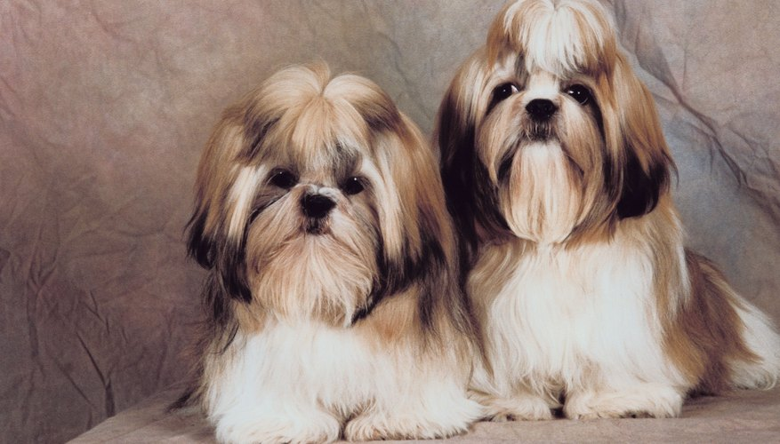 A couple of Shih Tzus.