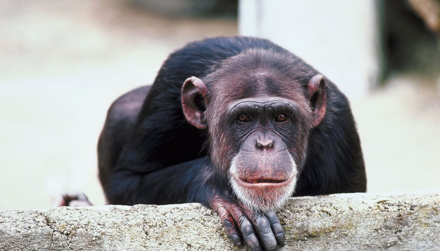 One study showed captive chimps seemingly closely watching an eclipse.