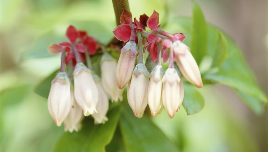 Rabbiteye blueberries' delicate, creamy blooms hint at fruit to come.