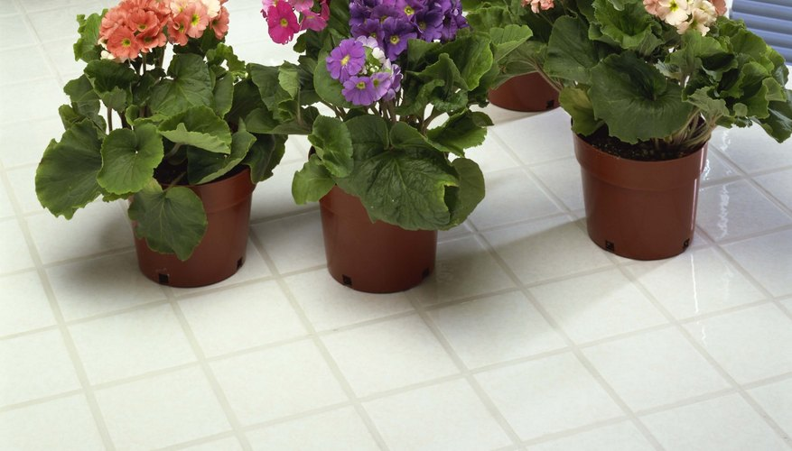 African violets need bright light during the day and total darkness at night.