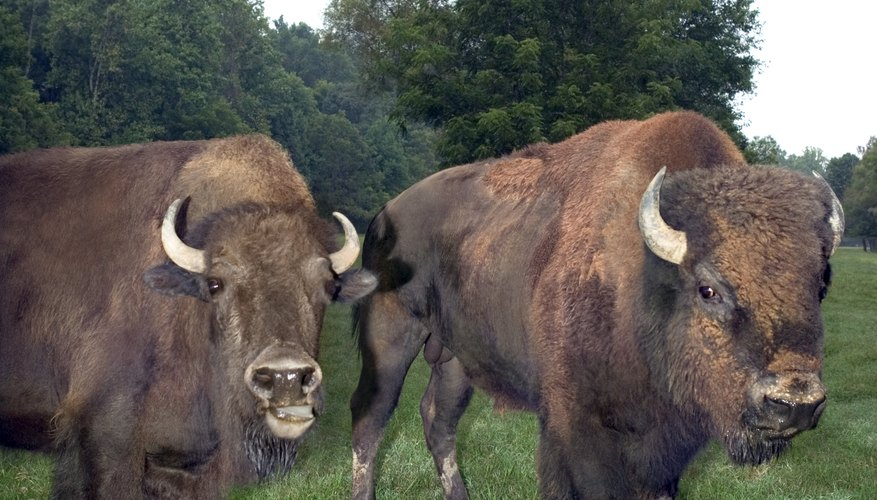 There are no specific tax breaks for bison, but there are deductions for livestock-raising enterprises.