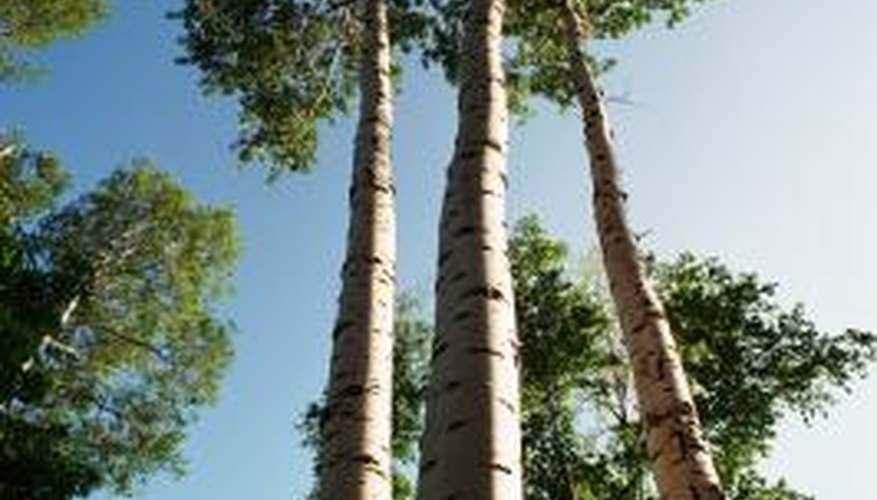 Poplar trees rapidly grow to their full height.