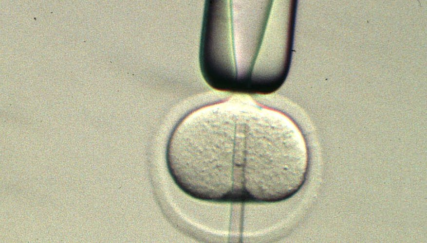 To clone mice, an adult cell nucleus containing DNA is injected into an enucleated egg cell.