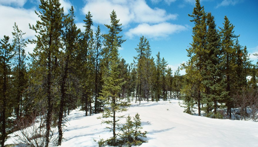 Snow functions as an important abiotic component of high-latitude and mountain forests.