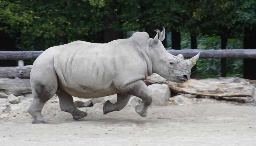 Rhino running across dirt.