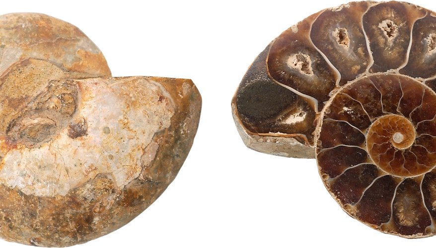 Ammonites are a type of extinct marine invertebrate commonly used as index fossils.