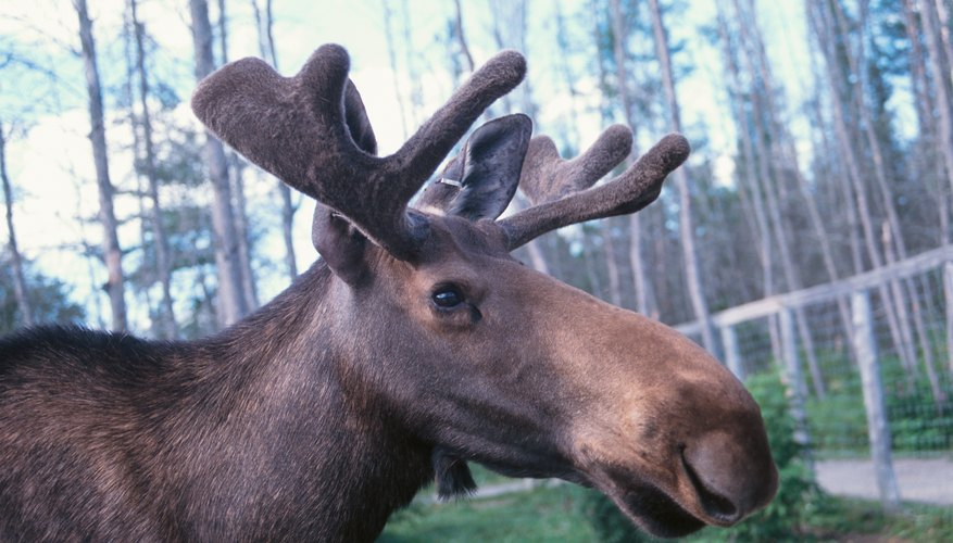 Moose are solitary animals and do not form herds.