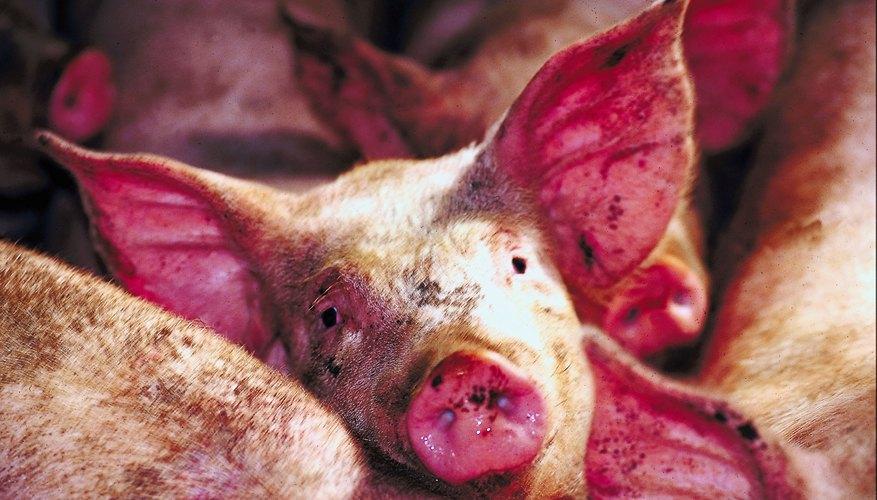 Retira el cerdo cuando seas capaz de tirar del pelo hacia fuera fácilmente desde los flancos detrás de los hombros.