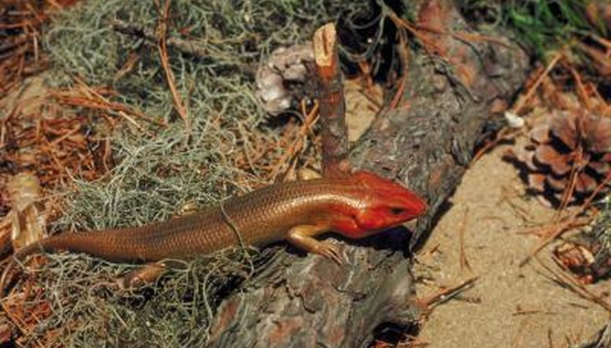 The broad-headed skink is a lizard commonly found in Illinois's wooded areas.