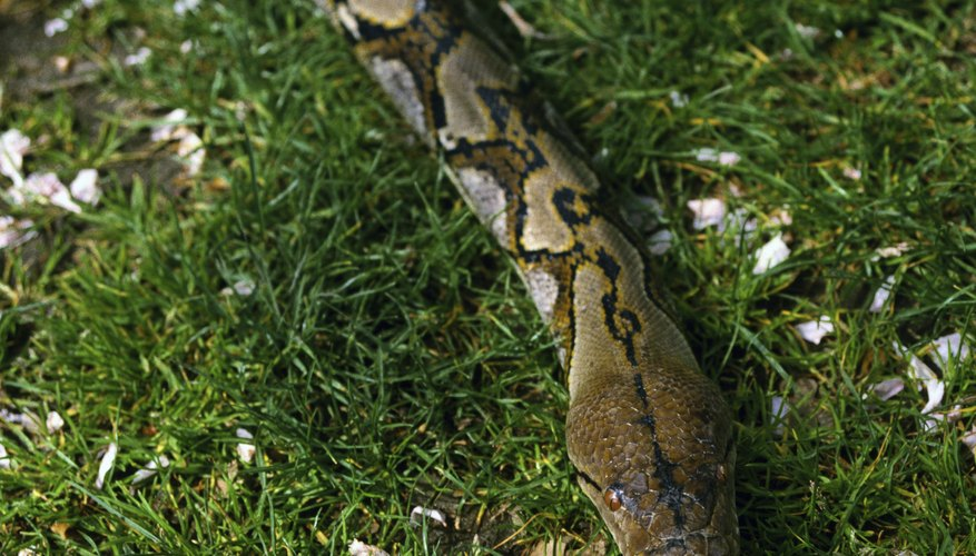 Reticulated pythons are one of the longest snakes in the world.