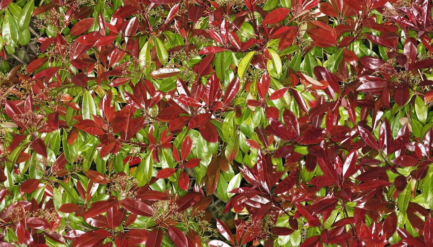 The red-tip photinia is a striking plant when kept healthy.