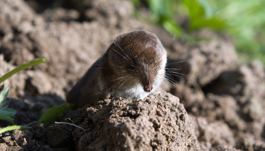 A shrew sits behind a clump of dirt.