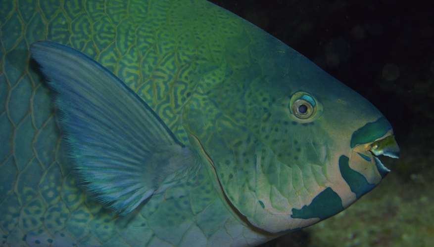 The parrotfish gets its name from its beak-like mouth.