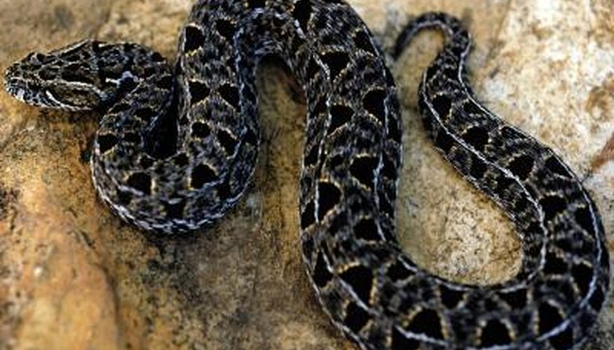 All but four of Tennessee's native snakes are non-venomous.