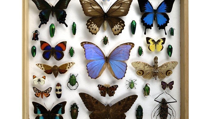 Existen muchas personas que disfrutan de armar e incrementar su colección de mariposas