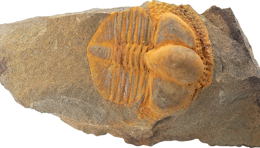 Paleontologists are geologists that study fossils to interpret Earth's history. .