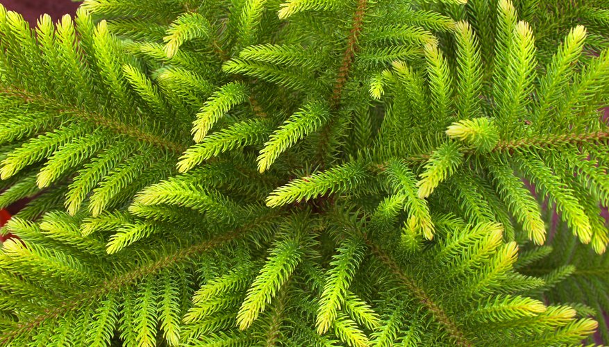 Top angle view of a fir plant