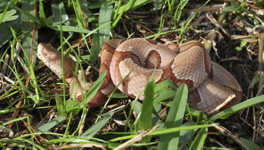 The color of a copperhead snake differs.