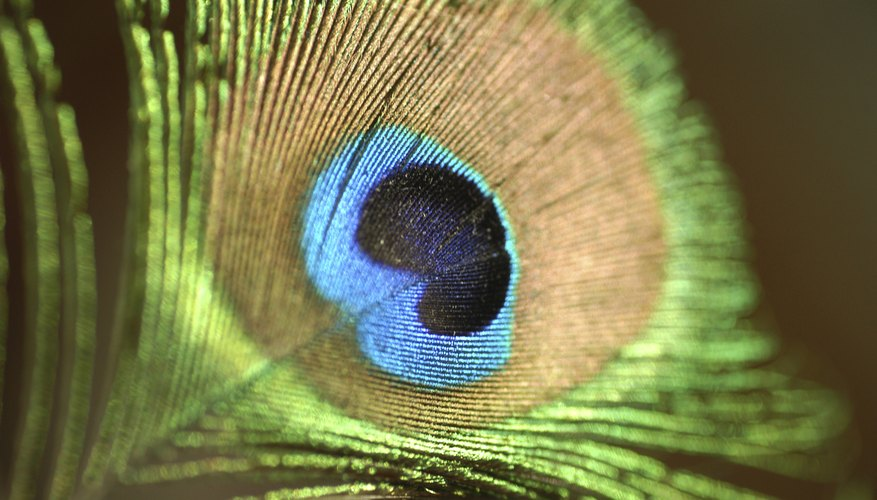 A close-up of a peacock feather.