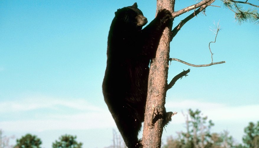There may be up to 20,000 bears living in Pennsylvania, as of the time of publication.