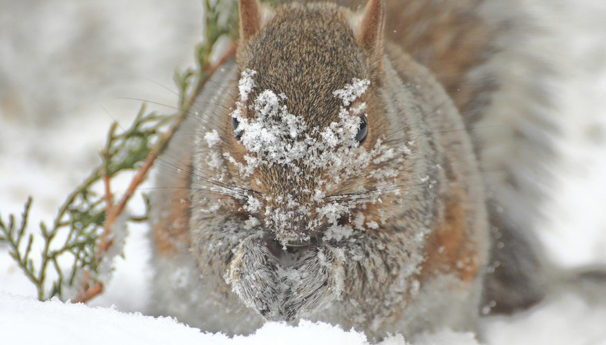 The eastern gray squirrel's coat turns thick and gray as winter approaches.